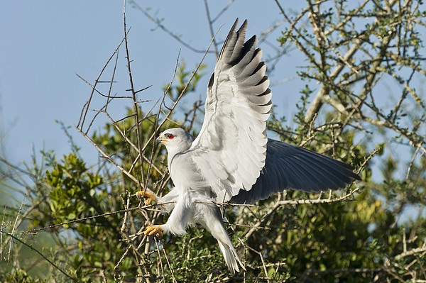 Black-shouldered Kite Print by Science Photo Library