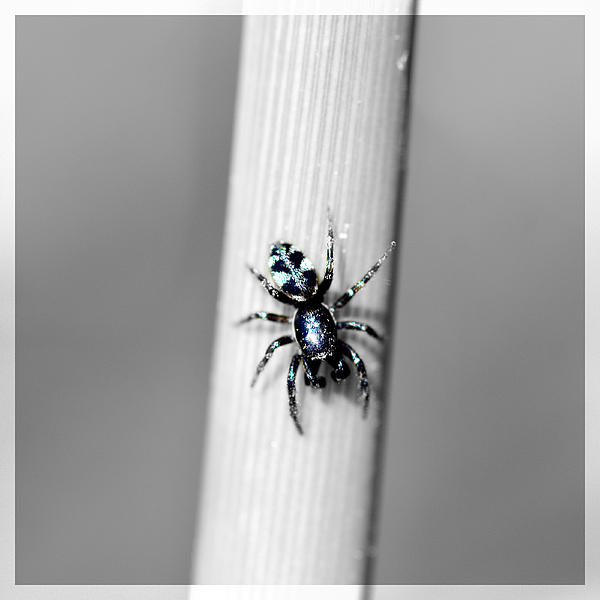 Black Spider In Black And White Print by Toppart Sweden