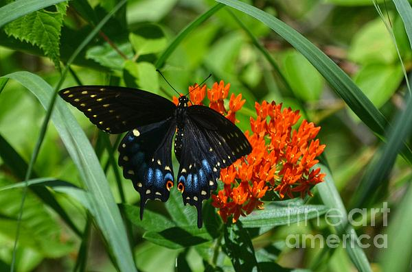 Black Swallow Tail On Beautiful Orange Wildlflower Print by Peggy  Franz