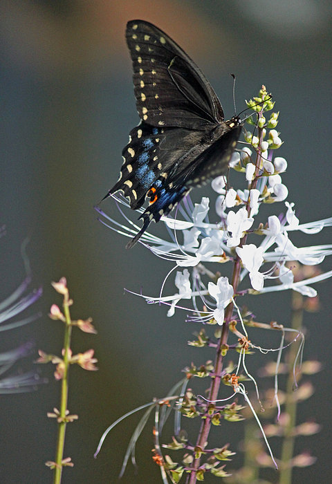 Black Swallowtail Among The Cats Whiskers Print by Suzanne Gaff