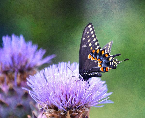 Deena Stoddard - Black Swallowtail