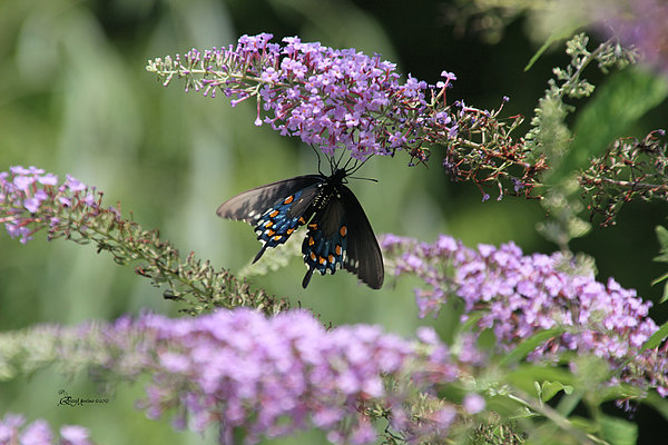 Black Swallowtail1-featured In Newbies-nature Wildlife- Digital Veil-comfortable Art Groups Groups Print by EricaMaxine  Price