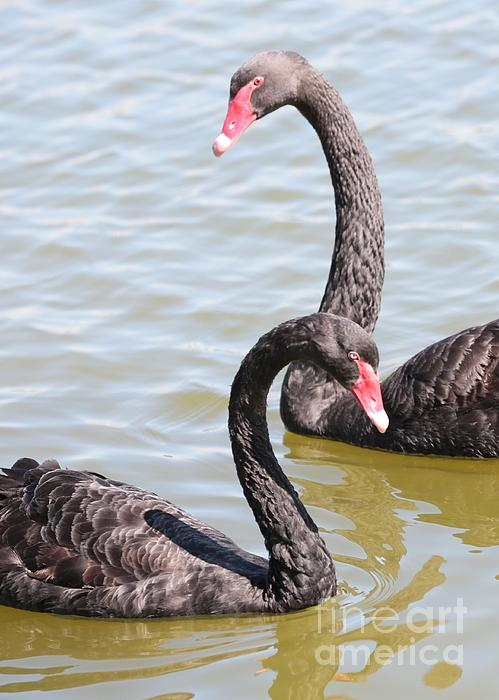 Black Swan Pair Print by Carol Groenen