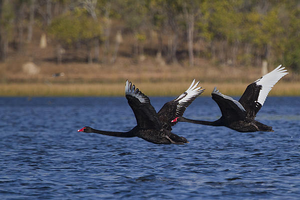 Black Swans In Flight Print by Mr Bennett Kent