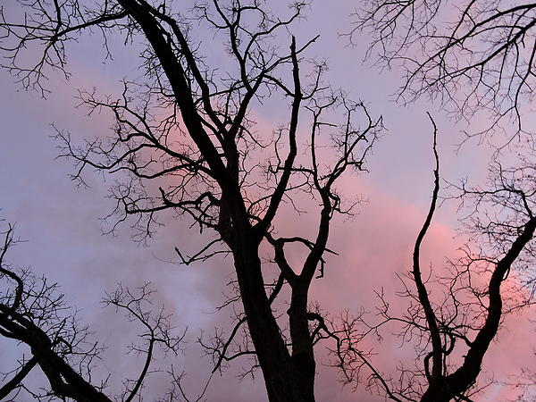 Jamie K Reaser - Black Walnut Grove in Rose and Lavender No. Two
