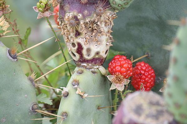 Blackberries Are Coming Print by Lorri Crossno