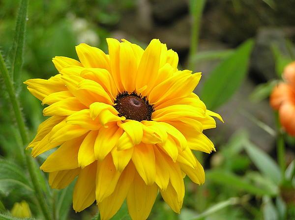 Yellow Blanket Flower by Marisa Horn