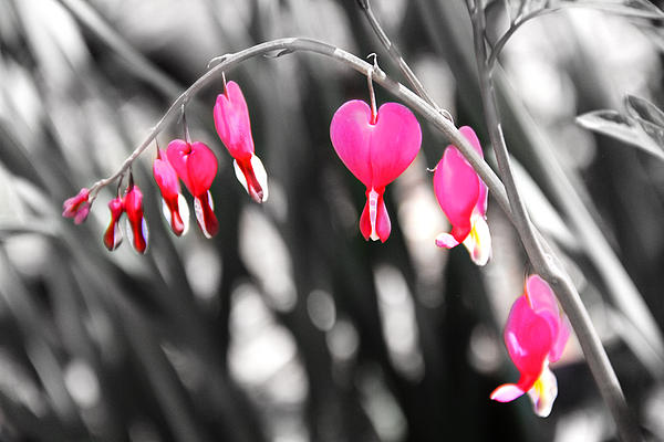 Bleeding Hearts Print by Mary Burr