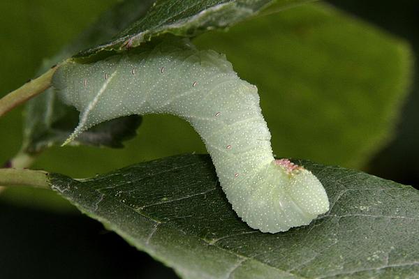 Doris Potter - Blinded Sphinx Moth caterpillar