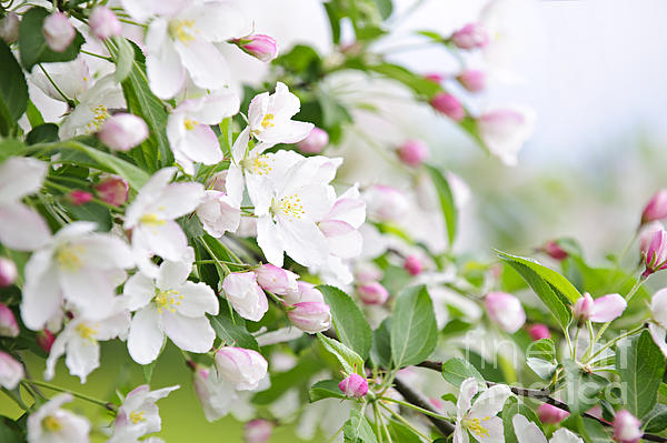 Blooming Apple Tree Print by Elena Elisseeva