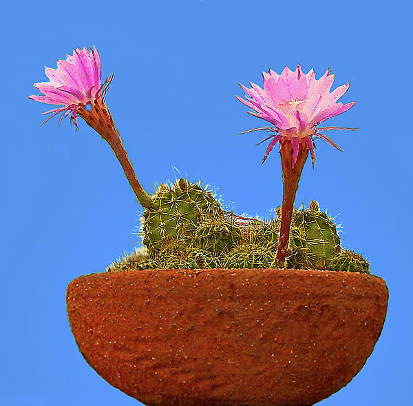 Blooming Beaver Tail Cactus Print by  Bob and Nadine Johnston