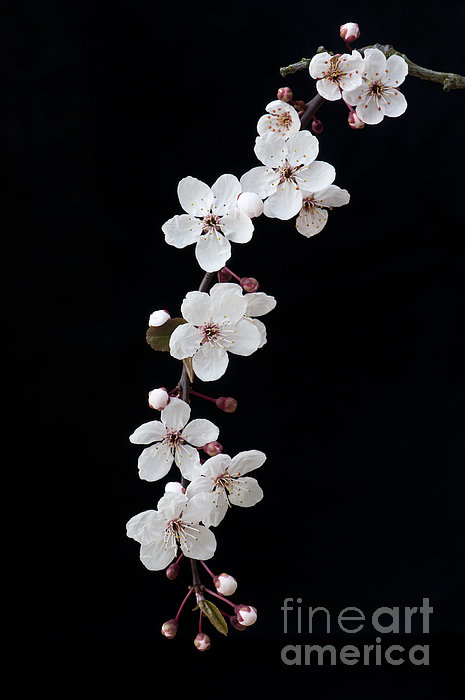 Blossom On Black Print by Tim Gainey