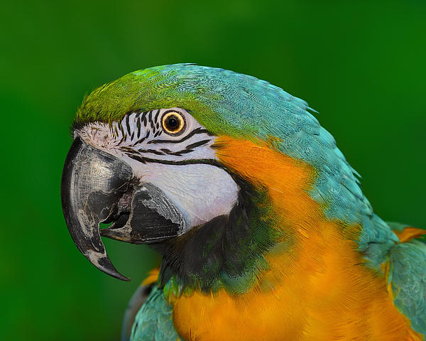 Blue And Gold Macaw Print by Tony Beck