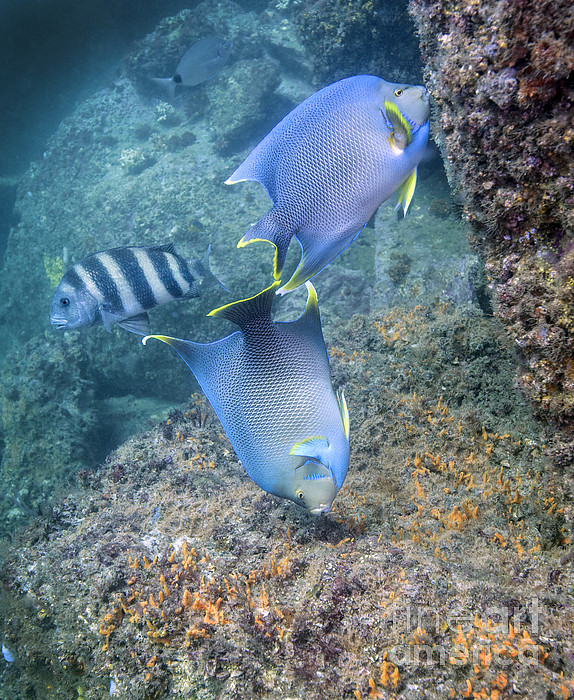 Blue Angelfish Feeding On Coral Print by Michael Wood