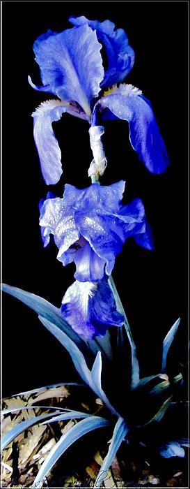 Blue Bearded Rhizomatous Irises Print by Danielle  Parent