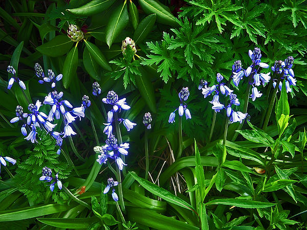 Blue Bells Print by Aimee L Maher Photography and Art
