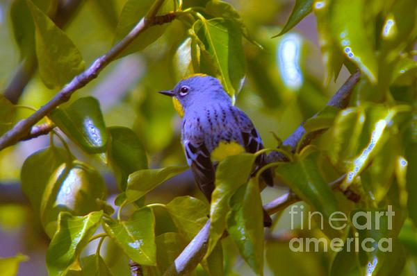 Blue Bird With A Yellow Throat Print by Jeff  Swan