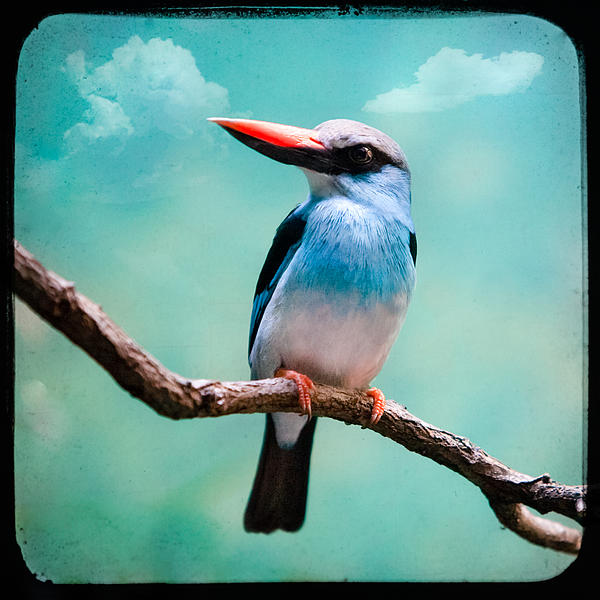 Blue Breasted Kingfisher Print by Gary Heller