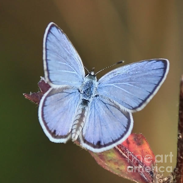 Blue Butterfly Square Print by Carol Groenen