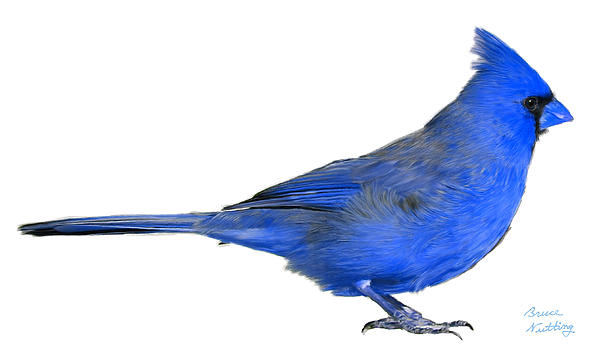 Blue Cardinal By Bruce Nutting