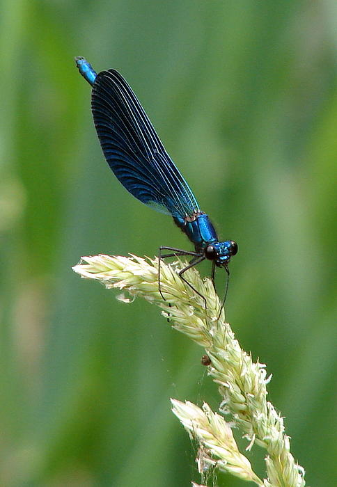 Blue Damselfly Print by Ramona Johnston