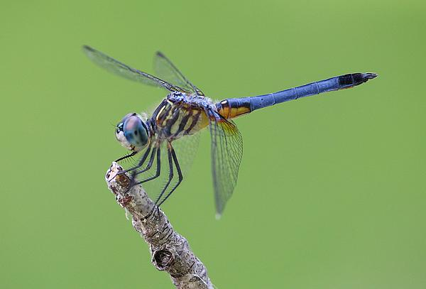 Blue Dasher Dragonfly Print by Ester  Rogers