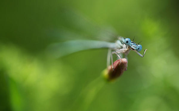 Blue Dragonfly Print by Jaroslaw Blaminsky