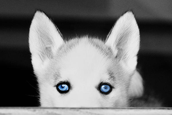 Blue Eyed Huskie Print by Susan Stone