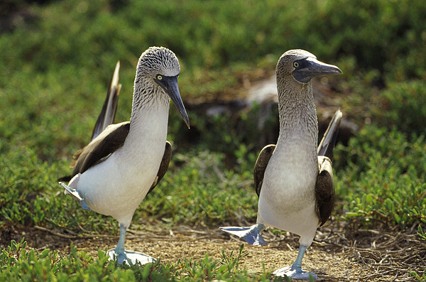 Blue-footed Booby Pair In Courtship Print by Tui De Roy