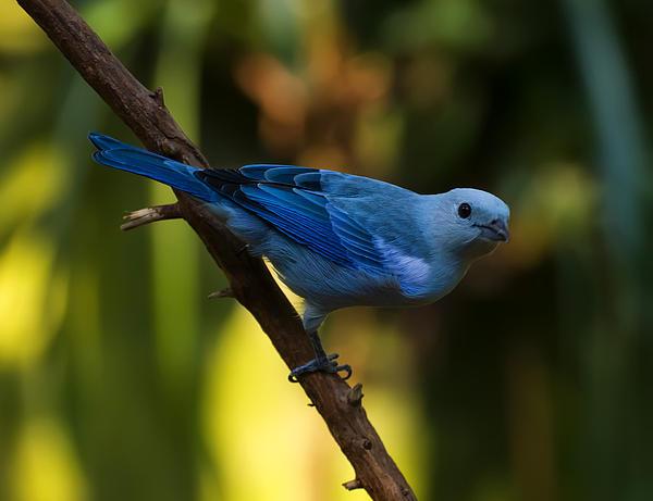 Chris Flees - Blue Grey Tanager