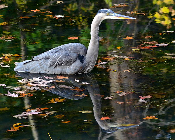 Blue Heron In Autumn Waters Print by Frozen in Time Fine Art Photography