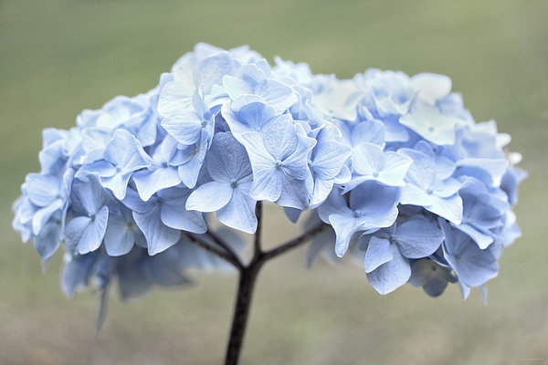 Jennie Marie Schell - Blue Hydrangea Flower Bouquet