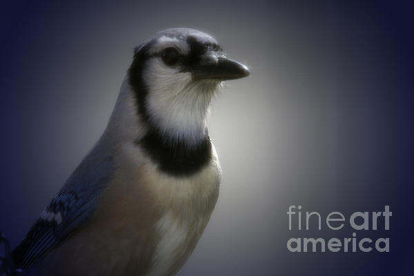 Amanda Collins - Blue Jay Close up