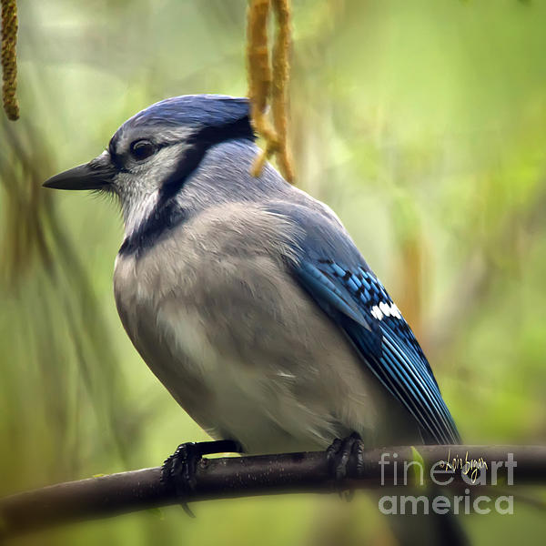 Blue Jay On A Misty Spring Day - Square Format Print by Lois Bryan