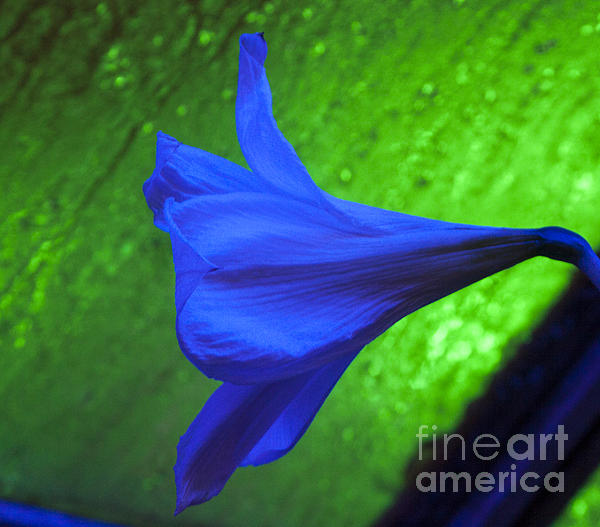 Blue Lily On Green Print by Darleen Stry