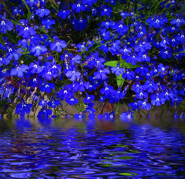 Joyce Dickens - Blue Lobelia