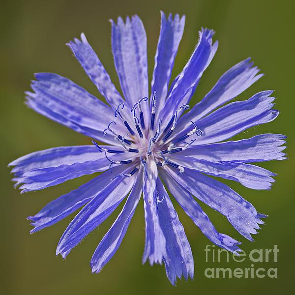 Blue Star... Print by Nina Stavlund