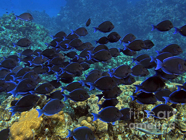 Blue Tangs Print by Jimmy Nelson