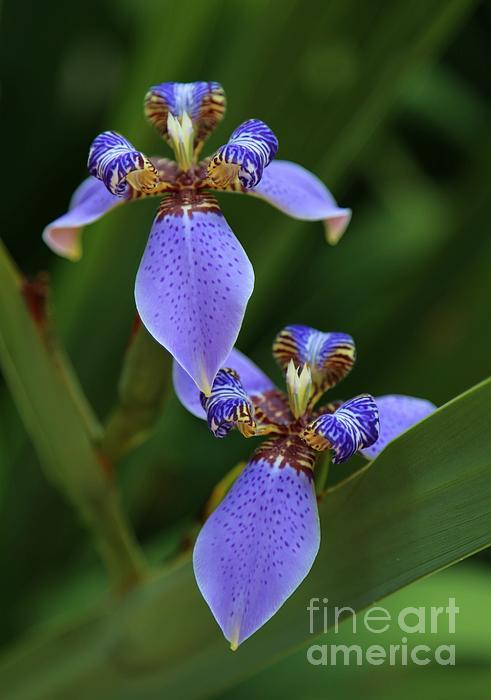 Blue Walking Iris Print by Carol Groenen