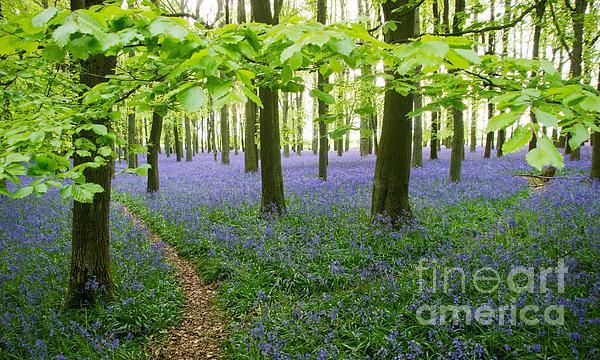 Elizabeth Debenham - Bluebells Under a Beech Canopy