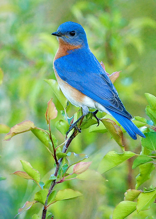 Bluebird Joy Print by William Jobes