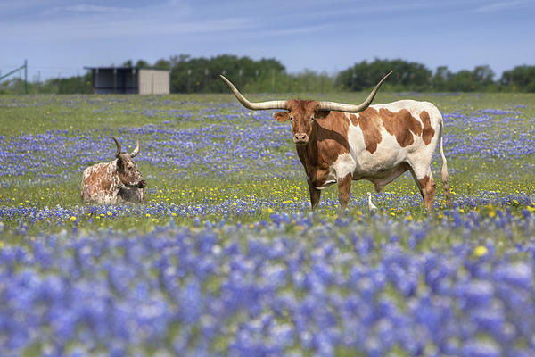Bluebonnet Pictures - Longhorns In Bluebonnets 5 Print by Rob Greebon