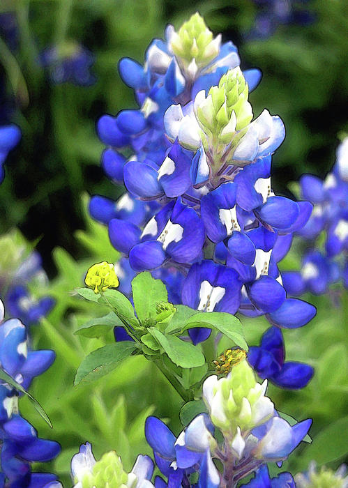 Bluebonnets Blooming Print by Stephen Anderson