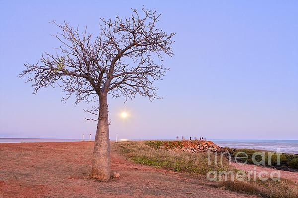 Boab Tree And Moonrise At Broome Western Australia Print by Colin and Linda McKie