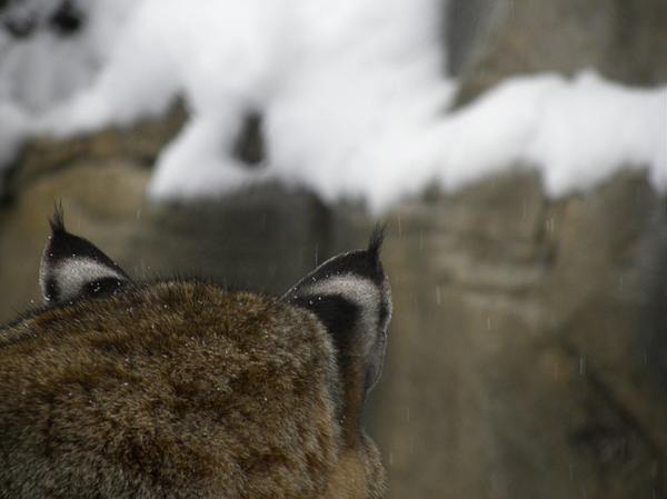 Bobcat Ears Print by Teresa Schomig