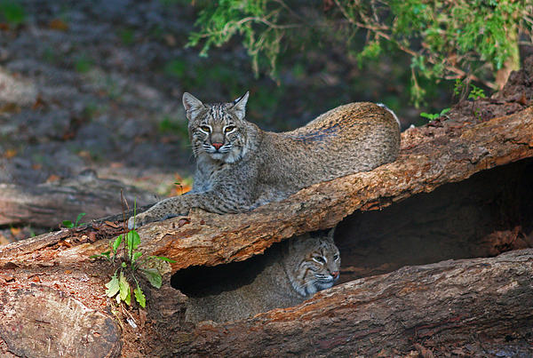 Bobcats At Rest Print by Jean Clark