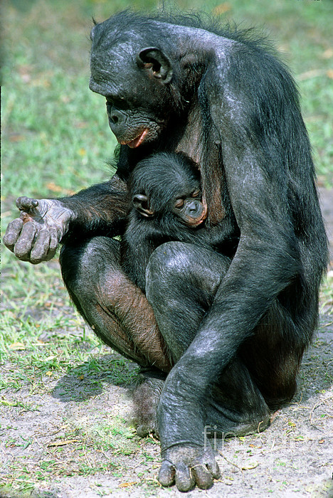 Bonobo Pan Paniscus Nursing Print by Millard H. Sharp