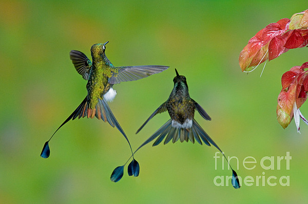 Booted Racket-tail Hummingbird Males Print by Anthony Mercieca