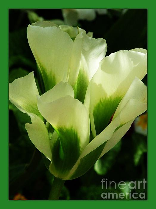 Joan-Violet Stretch - Bordered Green Tulip