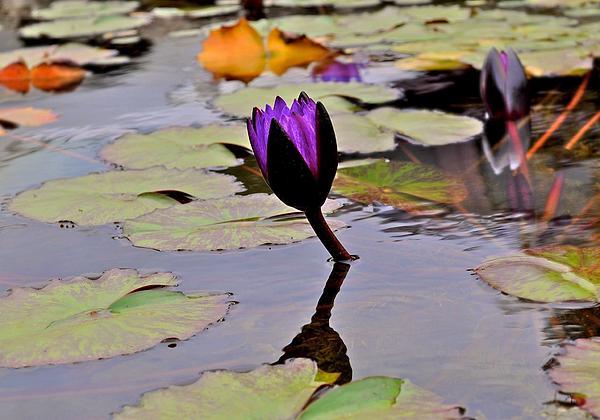 Botanical Garden Lotus Flowers By Kristina Deane